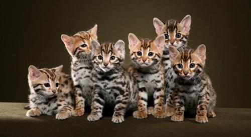 bengal-cat4