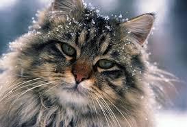 maine-coon-cat3