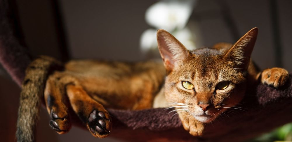 Abyssinian Cat Cats Ears