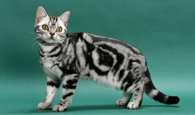 american-shorthair cat