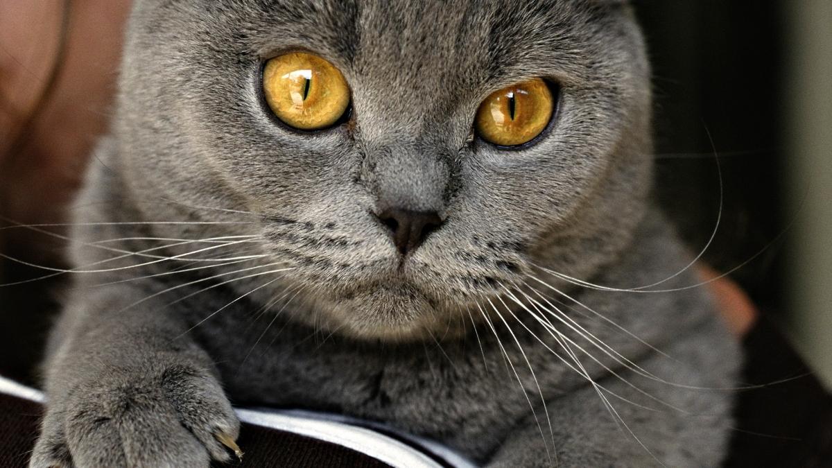 chartreux cat breed