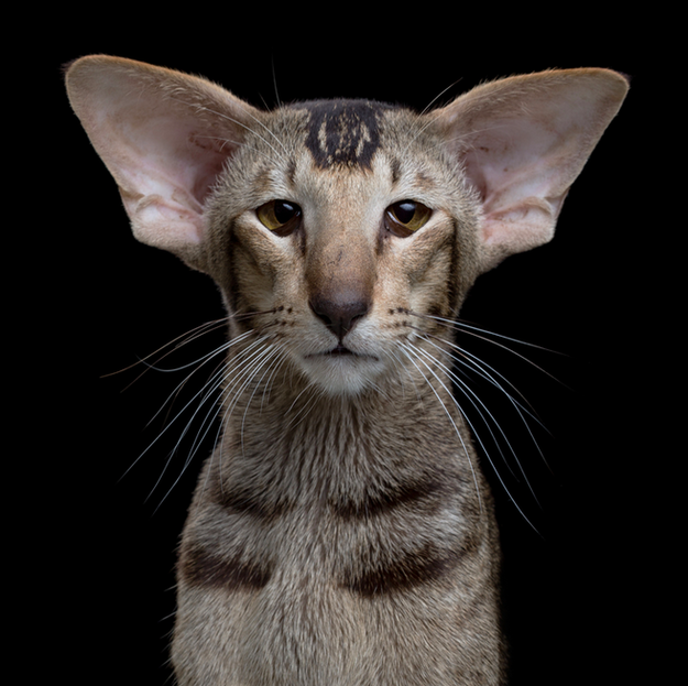 oriental-cat3